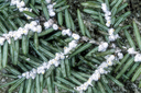 Featured Publication: Hemlock woolly adelgid infestation affects water and carbon relations of eastern hemlock and Carolina hemlock