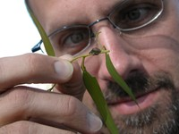 SRS new Assistant Station Director for Research Kier Klepzig examines an invasive insect (the Eucalyptus Weevil - Gonipterus scutellatus). - Photo by Bernard Slippers