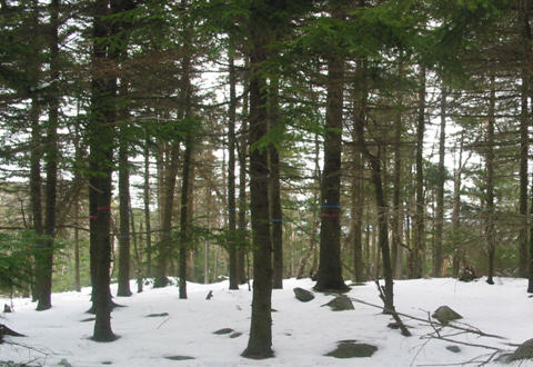 Control plot on Mt. Ascutney (4% mortality from 1988-2006)