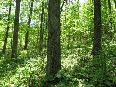 Oak decline research plot