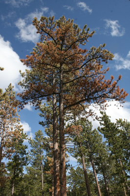 ponderosa_pine_Red_Feather_Lakes_Colo.png