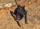 Big-eared Bat